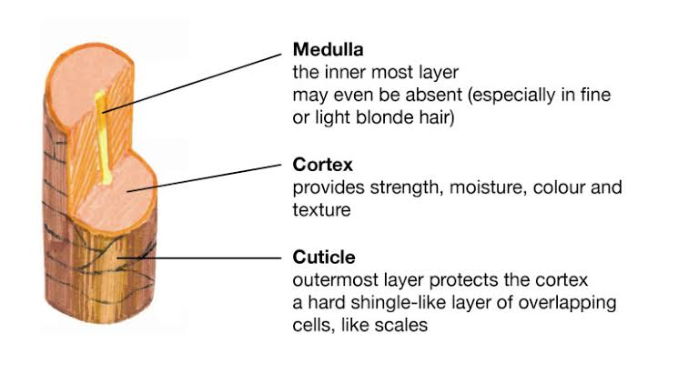 """Image result for structure of the hair shaft"""""""